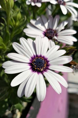 skala potamias porto thassos spring flower